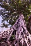 Enorm vit rotar av det Tetrameles tr?det Frodig krona av ett tropiskt tr?d fotografering för bildbyråer