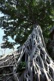 Enorm vit rotar av det Tetrameles tr?det Frodig krona av ett tropiskt tr?d arkivfoto