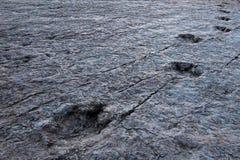 Enorma dinosauriefotspår, Maragua, Bolivia Arkivfoto