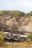 Enorma flockar av herbivor korsar floden kenya mara masai royaltyfri bild