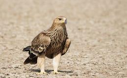 Enorma imperialistiska Eagle från Gujarat, Indien royaltyfria foton