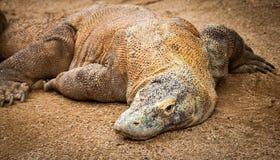 Enorma Komodo Dragon Lying på grus Arkivbild