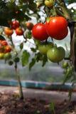 Enorma lästa tomater på en filial Arkivbilder