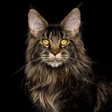 Enorma Maine Coon Cat Isolated på svart bakgrund royaltyfri foto