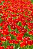 enorma röda tulpan för fält Royaltyfri Bild