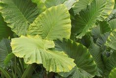 Enorma sidor av den tropiska Rainforestväxten Royaltyfria Foton