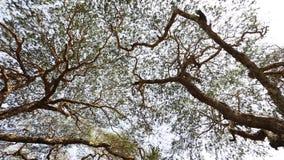 Enorma träd med gröna sidor lager videofilmer