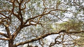 Enorma träd med gröna sidor stock video