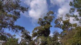 Enorma träd på skogen i Kyoto, Japan arkivfilmer