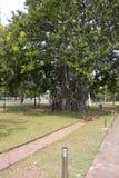 enorma trees Arkivfoton