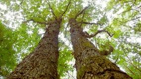 Enorma våta träd royaltyfri foto