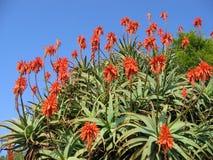Enorme Aloe in Israel Stockbild