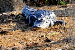Enorme Amerikaanse alligator die in moerasland lopen Stock Foto