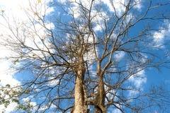 Enorme Ausbreitung des bloßen Baums von trockenen toten Blättern stockfotos
