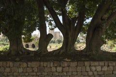 Enorme Bäume am Al-Baß ruiniert, mit Reifenstadt im Hintergrund, der Reifen, sauer, der Libanon Lizenzfreie Stockfotografie