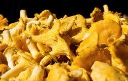 Enorme cantidad de mízcalos de oro Cibarius del Cantharellus Foto de archivo