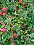 Enorme Ernte von Äpfeln auf einem Apfelbaum in der Loire lizenzfreie stockfotos