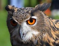 Enorme Eule mit orange Augen und dem starken Gefieder Stockfotografie