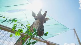 Enorme Giraffe isst Zweig mit Blättern im Zoo stock video