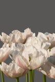 Enorme grado de tulipanes blancos con los filetes rosados Foto de archivo