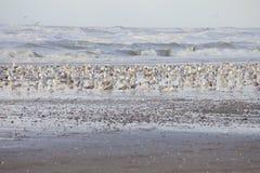 Enorme Gruppe Seemöwen auf Strand Wijk aan Zee Lizenzfreies Stockbild