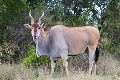 Enorme Kapelenantilope an addo Elefanten Stockfotografie