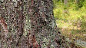 Enorme Kiefer des mächtigen Baums stock video