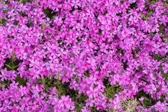 Enorme kleine rosa Blumen Stockfotografie