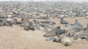 Enorme Kolonie von Pelzdichtungen am Kap-Kreuz, Namibia stock footage