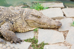 Enorme Krokodile von Madagaskar Stockfotos