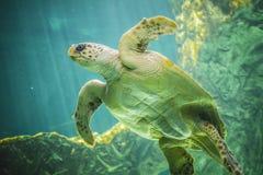 Enorme Meeresschildkröte Unterwasser nahe bei Korallenriff Stockbild