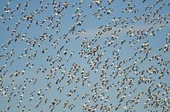 Enorme Menge der Flugwesen-Schnee-Gänse lizenzfreie stockfotos