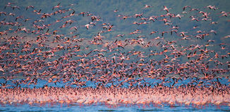 Enorme Menge des Flamingostarts kenia afrika Nakuru National Park See Bogoria-national Reserve lizenzfreie stockfotografie