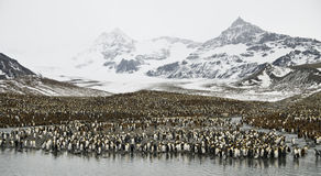 Enorme Pinguin-Kolonie. stockbild