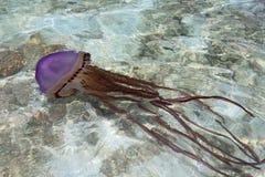 Enorme purpurrote Quallen im seichten Wasser Stockfotografie