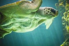 Enorme Schildkrötenschwimmen unter dem Meer Stockbild