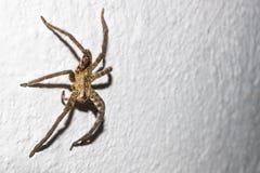 Enorme Spinne auf Hausmauer in Peten, Guatemala lizenzfreie stockbilder