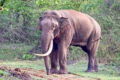 Enorme Tusker-Nahaufnahme Lizenzfreies Stockfoto