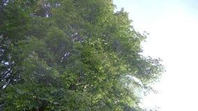 Enorme vertakte boom van esdoorn Grote esdoorntakken met groene bladeren stock footage