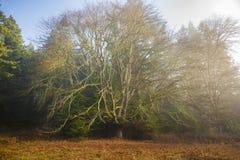 Enormer Ahornbaum während Autumn Seasons lizenzfreies stockfoto