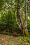 Enormer alter Buchenbaum im Naturreservatregenwald Vinatovaca in S Stockfoto