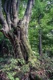 Enormer alter Buchenbaum im Naturreservatregenwald Vinatovaca in S Lizenzfreies Stockbild