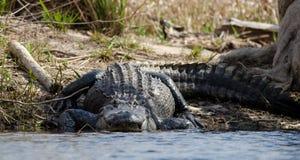 Enormer amerikanischer Alligator, Okefenokee-Sumpf-Staatsangehörig-Schutzgebiet Lizenzfreies Stockbild