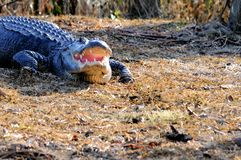 Enormer amerikanischer Alligatormund offen, Florida-Sumpfgebiete Stockbild