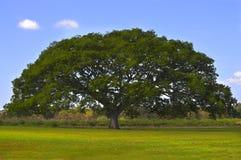 Enormer Baum Stockfoto