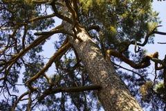 Enormer Baum einer Kiefer im Park das sofiyevsky größte in Europa Lizenzfreie Stockfotos
