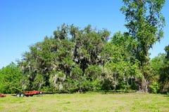Enormer Baum in Florida Lizenzfreies Stockbild