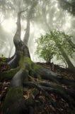 Enormer Baum mit großen Wurzeln im Wald mit Nebel Lizenzfreie Stockbilder
