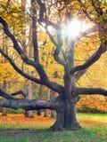 Enormer Baum und die Sonne im Herbst Stockfotografie
