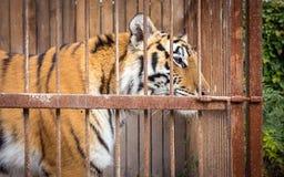 Enormer Blick des sibirischen Tigers Stockbild